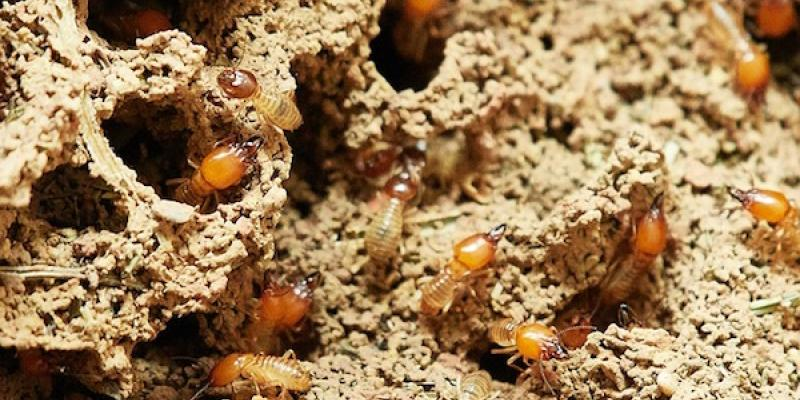 Termites in the foundation of a home.