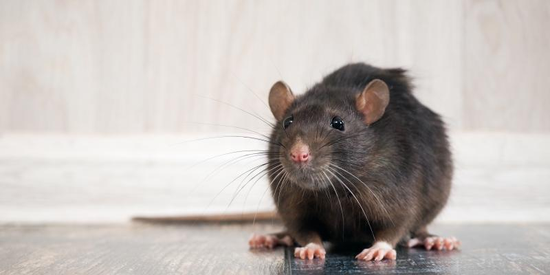 rodent in home