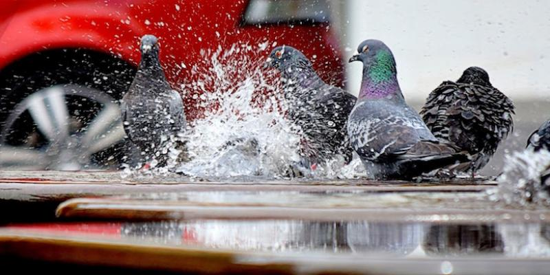 Pigeons sitting in a puddle next to a car.
